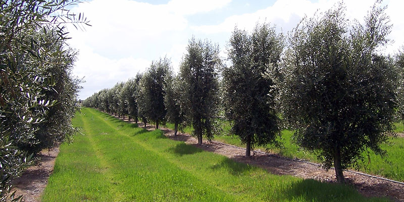 Australian Olives | The Australian Olives Association Website